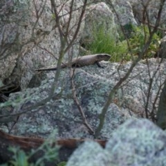 Egernia cunninghami (Cunningham's Skink) at Lake Bathurst, NSW - 10 Oct 2014 by AaronClausen