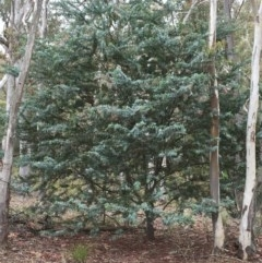 Acacia baileyana (Cootamundra Wattle, Golden Mimosa) at Bruce Ridge - 1 Nov 2015 by ibaird