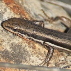 Morethia boulengeri (Boulenger's Skink) at Red Hill Nature Reserve - 1 Nov 2015 by roymcd