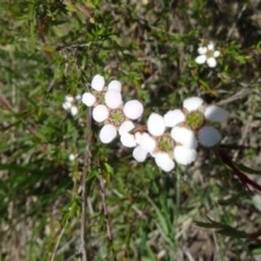 Leptospermum continentale (Prickly Teatree) at Black Mountain - 24 Oct 2015 by galah681