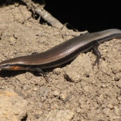 Acritoscincus platynotum (Red-throated Skink) at Winifred, NSW - 5 Dec 2012 by GeoffRobertson