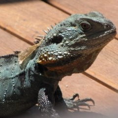 Intellagama lesueurii (Eastern Water Dragon) at ANBG - 19 Jan 2013 by GeoffRobertson