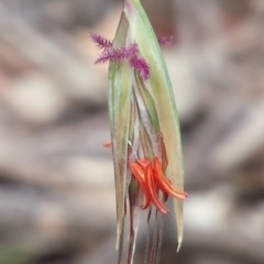 Rytidosperma pallidum (Red-anther Wallaby Grass) at Aranda Bushland - 3 Nov 2015 by MattM