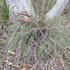 Rytidosperma pallidum at Aranda Bushland - 3 Nov 2015