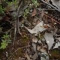 Cyanicula caerulea at Aranda Bushland - 22 Oct 2015