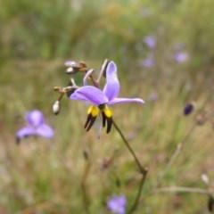 Dianella revoluta var. revoluta (Black-anther Flax Lily) at Flea Bog Flat, Bruce - 30 Oct 2015 by JanetRussell