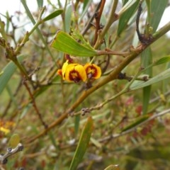 Daviesia mimosoides (Bitter Pea) at Flea Bog Flat, Bruce - 30 Oct 2015 by JanetRussell