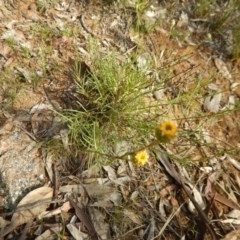 Rutidosis leptorhynchoides (Button wrinklewort) at Red Hill Nature Reserve - 3 Nov 2015 by MichaelMulvaney