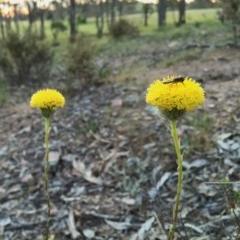 Leptorhynchos elongatus (Lanky buttons) at Wandiyali-Environa Conservation Area - 5 Nov 2015 by Wandiyali