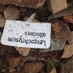 Leucochrysum albicans subsp. tricolor at Sth Tablelands Ecosystem Park - 5 Nov 2015