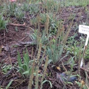 Plantago varia at Sth Tablelands Ecosystem Park - 5 Nov 2015
