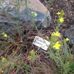 Bulbine glauca at Sth Tablelands Ecosystem Park - 5 Nov 2015