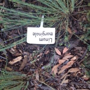 Linum marginale at Sth Tablelands Ecosystem Park - 5 Nov 2015