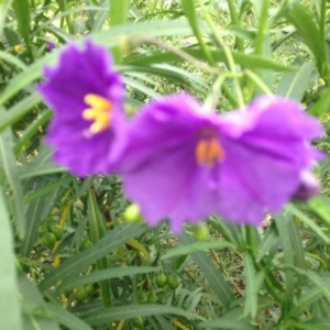 Solanum linearifolium at Sth Tablelands Ecosystem Park - 5 Nov 2015