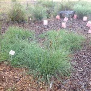 Sorghum leiocladum at Sth Tablelands Ecosystem Park - 5 Nov 2015