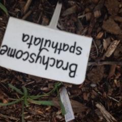 Brachyscome spathulata at Sth Tablelands Ecosystem Park - 5 Nov 2015