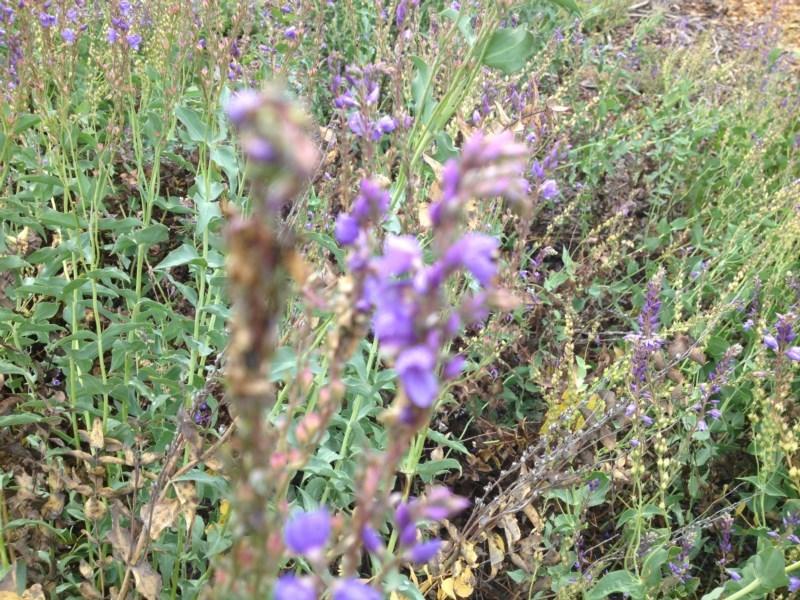 Veronica perfoliata at Sth Tablelands Ecosystem Park - 5 Nov 2015