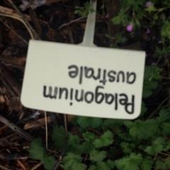 Pelargonium australe at Sth Tablelands Ecosystem Park - 5 Nov 2015