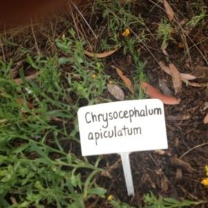 Chrysocephalum apiculatum at Sth Tablelands Ecosystem Park - 5 Nov 2015