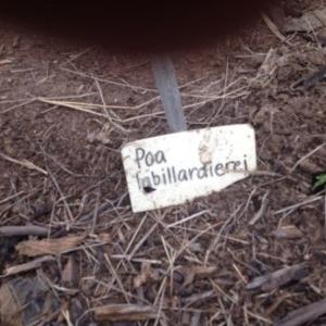 Poa labillardierei at Sth Tablelands Ecosystem Park - 6 Nov 2015