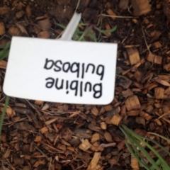 Bulbine bulbosa at Sth Tablelands Ecosystem Park - 6 Nov 2015