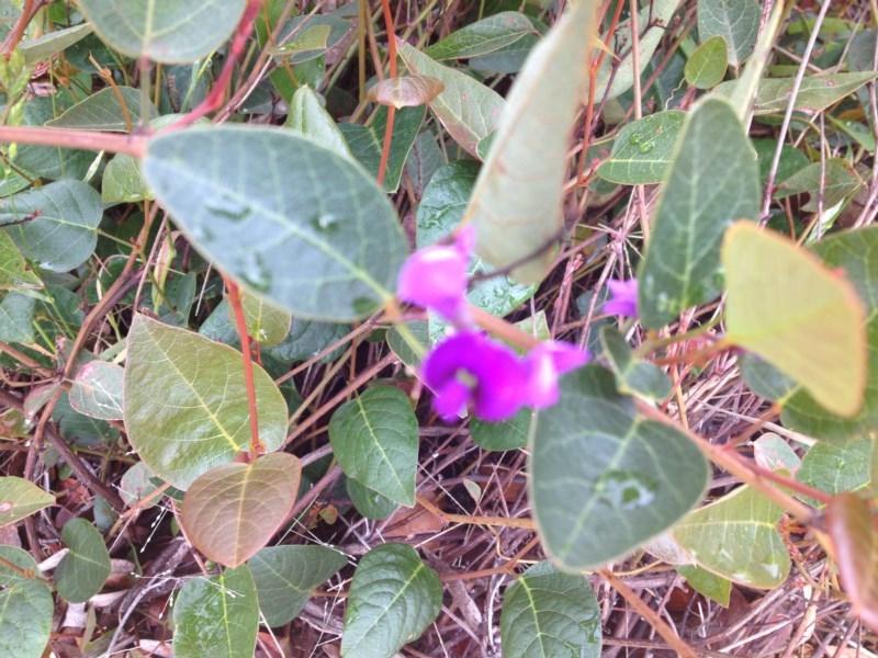 Hardenbergia violacea at Sth Tablelands Ecosystem Park - 6 Nov 2015