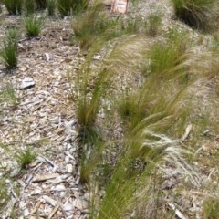 Austrostipa scabra subsp. falcata (Rough Speargrass, Slender Speargrass) at Sth Tablelands Ecosystem Park - 15 Oct 2015 by AndyRussell