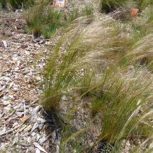 Austrostipa scabra subsp. falcata at Sth Tablelands Ecosystem Park - 16 Oct 2015