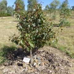 Brachychiton populneus subsp. populneus at Sth Tablelands Ecosystem Park - 15 Jan 2015