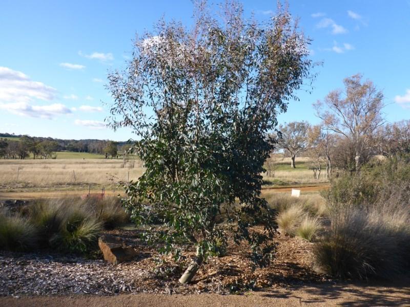 Eucalyptus stellulata at Sth Tablelands Ecosystem Park - 28 Jul 2015