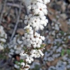 Leucopogon attenuatus (Small leaved beard heath) at Black Mountain - 20 Sep 2015 by galah681