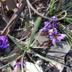 Hardenbergia violacea (False Sarsaparilla) at Mount Painter - 20 Sep 2015 by galah681