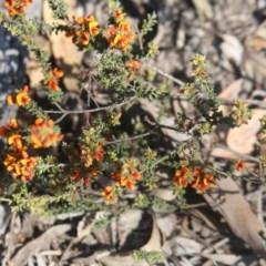 Pultenaea procumbens (Bush Pea) at Black Mountain - 24 Oct 2015 by ibaird