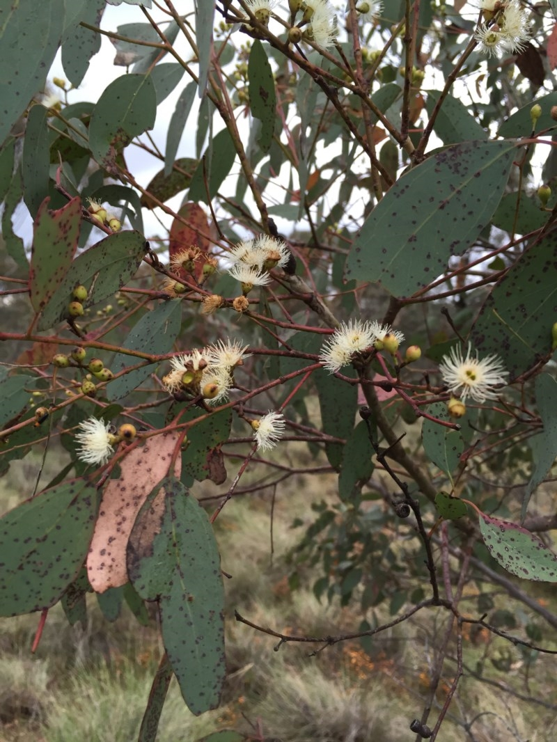 Eucalyptus melliodora at Bungendore, NSW - 8 Nov 2015