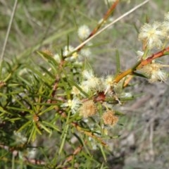 Acacia genistifolia (Early Wattle) at Cook, ACT - 20 Sep 2015 by galah681