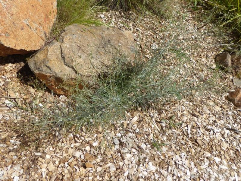 Senecio quadridentatus at Sth Tablelands Ecosystem Park - 8 Nov 2015