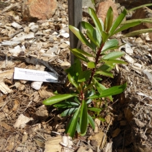 Tasmannia lanceolata at Sth Tablelands Ecosystem Park - 8 Nov 2015
