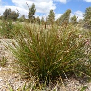 Carex appressa at Sth Tablelands Ecosystem Park - 8 Nov 2015