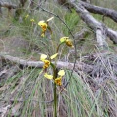 Diuris sulphurea (Tiger orchid) at Aranda, ACT - 4 Nov 2015 by EmmaCook