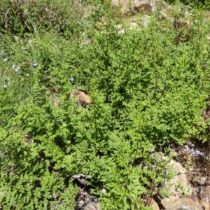 Cheilanthes austrotenuifolia at Sth Tablelands Ecosystem Park - 9 Nov 2015