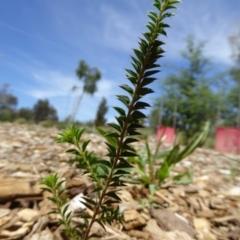 Acacia gunnii at Sth Tablelands Ecosystem Park - 9 Nov 2015