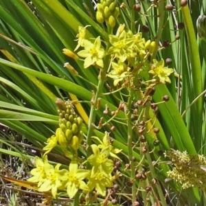 Bulbine glauca at Sth Tablelands Ecosystem Park - 29 Oct 2015