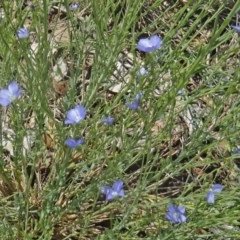Linum marginale (Native Flax) at Sth Tablelands Ecosystem Park - 28 Oct 2015 by galah681