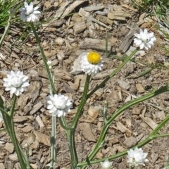 Ammobium alatum (Winged Everlasting) at Sth Tablelands Ecosystem Park - 28 Oct 2015 by galah681
