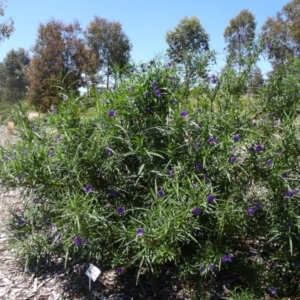 Solanum linearifolium at Sth Tablelands Ecosystem Park - 29 Oct 2015