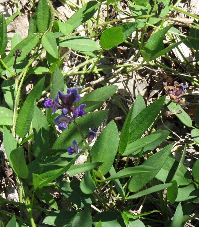 Glycine tabacina at Sth Tablelands Ecosystem Park - 29 Oct 2015
