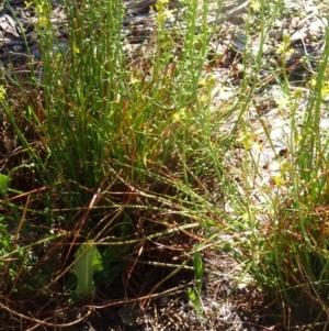Bulbine bulbosa at Sth Tablelands Ecosystem Park - 29 Oct 2015