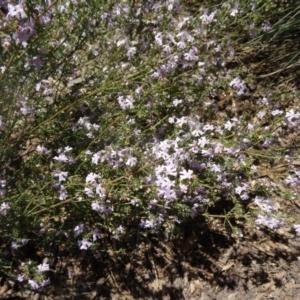 Westringia eremicola at Sth Tablelands Ecosystem Park - 29 Oct 2015