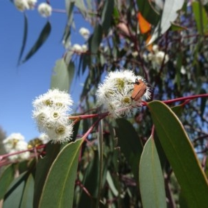 Eucalyptus rossii at Sth Tablelands Ecosystem Park - 29 Oct 2015