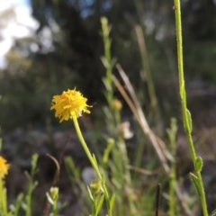 Calotis lappulacea (Yellow burr daisy) at Theodore, ACT - 7 Nov 2015 by michaelb